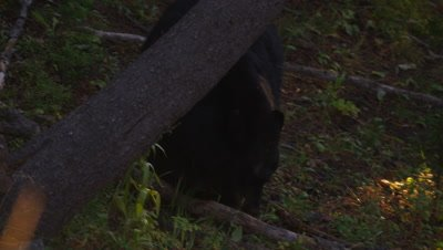 Black bear walks through forest, stopping to feed on whitebark pine cones.  Med.