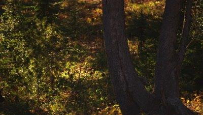 Black bear walks through frame as sunset light falls through a whitebark pine forest.  Med-Wide.