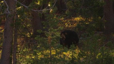 Black bear walks through a whitebark pine forest at sunset.  Med-Wide.