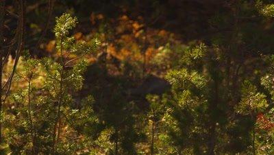 Detail shots of whitebark pine sapling trees in golden sunset light.