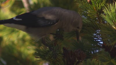 Tight shot of a clark's nutcracker perched on the end of a whitebark pine branch. Leaves frame.  Tight.