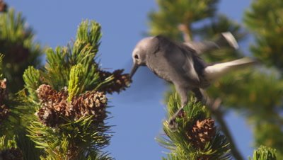 Tight shot of a Clark's nutcracker perched on the end on a whitebark pine branch, feeding on seeds it is pulling out of a cone.  Bird flies off to another cone.  Tight.