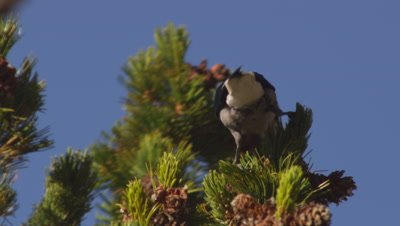 Tight shot of a Clark's nutcracker perched on the end on a whitebark pine branch, feeding on seeds it is pulling out of a cone.  Leaves frame.  Tight.