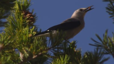 Tight shot of a Clark's nutcracker perched on the end on a whitebark pine branch, feeding on seeds it is pulling out of a cone.  Tight.
