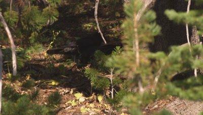 Raven feeds on whitebark pine seeds scattered across the forest floor.  Med.