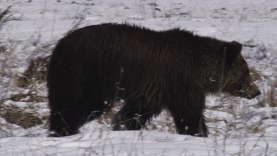 Grizzly bear walks through snowy meadow, smelling the ground, searching for ground squirrel caches.  Med.