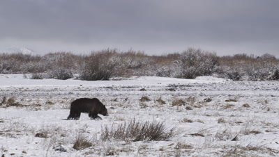 Grizzly bear walks through snowy meadow, smelling the ground, searching for ground squirrel caches.  Wide.