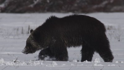Grizzly bear digs up squirrel caches in snowy spring meadow, sending dirt flying.  Slow Motion.  Close.
