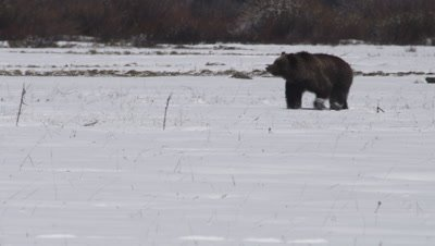 Grizzly bear walks through frame across snowy meadow, slowing to smell as he walks.  Wide.