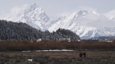 Grizzly bear walks through spring meadow the foot of the Grand Tetons.  The snowy peaks rise precipitously behind the bear.  Wide.