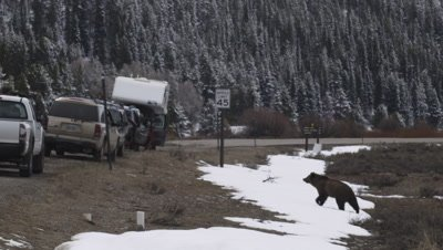 Grizzly bear crosses through snowbank and walks between a line of tourists parked in their cars.  Zoom in as bear passes between the cars and cross a paved road.  Wide / Med.