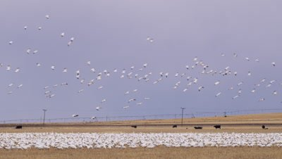 A flock of snow geese land in a barley field in front of cattle and irrigation equipment.  They join a large number of geese already foraging there.  Wide.