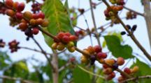 Kona Hawaii, Coffee Beans Growing, Maturing