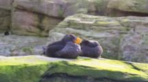 Pair Of Puffins Rests On Rocks