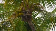 Looking Up At Coconut Palm With Lots Of Coconuts, Waving In Breeze