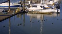 Mud Hens, Coots Swim Near Dock And Boats In Harbor