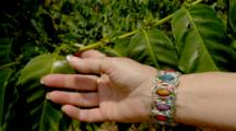 Woman's Hand With Colorful Bracelet Hold Coffee Tree Branch