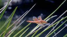 Orange Dragonfly On Reeds, Water Background