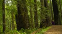 Nordic Woman In Renaissance Costume Stands In Redwood Forest