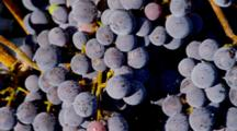 Close Up Dew On Purple Merlot Grapes