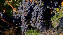 Purple Merlot Grapes Hang On Vine