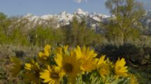Grand Tetons In Background, Yellow Daisy Wildflowers In Foreground