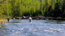 Fly Fishing, Fishermen In Yellowstone River