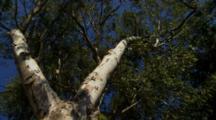Looking Up Trunk Of Eucalyptus Tree In Breeze, Circular Pan