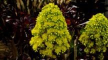 Succulent Plant Tree Aeonium With Yellow Flowers