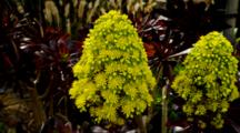 Succulent Plant Tree Aeonium With Bee On Yellow Flowers