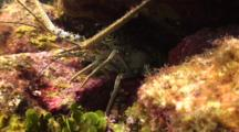 Carribean Spiny Lobster In Reef