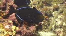 Black Durgon Pair