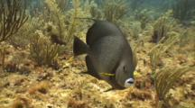 Gray Angelfish Feeding On Reef