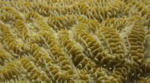 Maze Coral Showing Polyps And Tentacles