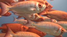 Bigeyes Shoaling On 2 Mile Reef Sodwana Bay