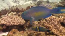 Ember Parrotfish Accompanied By Goldbar Wrasse Feeding On Coral