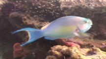 Ember Parrotfish Among Glassy Shoal