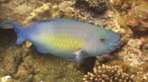 Ember Parrotfish Feeding