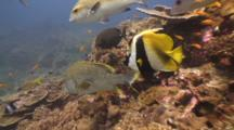 Bannerfish And Speckled Snapper Over Reef