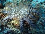 Crown Of Thorn Marching Over Coral