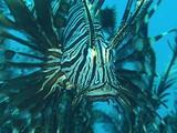 Lionfish Turning Towards Camera
