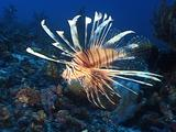 Lionfish Drifting Over Corals