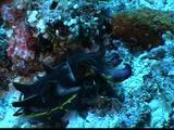 Flamboyant Cuttlefish Walks Along Bottom