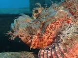 Skorpionfish Head