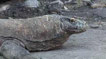 Komodo Dragon (Varanus Komodoensis) In Komodo National Park