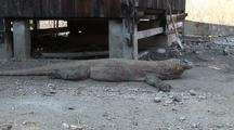 Komodo Dragon (Varanus Komodoensis) In Komodo National Park