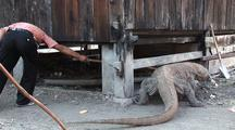 Komodo Dragon (Varanus Komodoensis) Being Handled By Park Rangers
