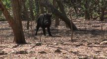 Wild Boar (Sus Scrofa Vittatus) In Komodo Island