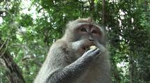 Crab-Eating Macaque / Long Tailed Macaque (Macaca Fasicularis) Face, Feeding