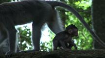 Crab-Eating Macaque / Long Tailed Macaque (Macaca Fasicularis) Mother And Juvenile
